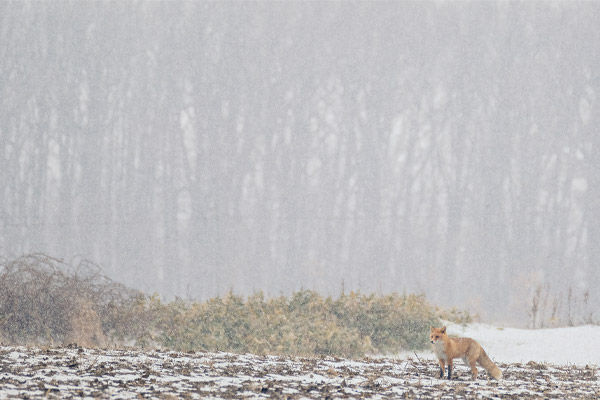 sample image of fox in landscape